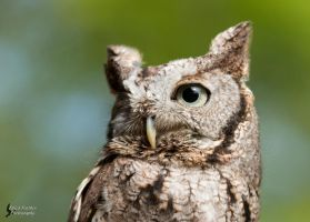 Screech Owl by EdgedFeather