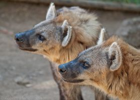 Spotted Hyenas 0142 by robbobert