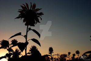 Sunset Flowers III by MiriamPeuser