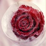 ice rose by hayzy