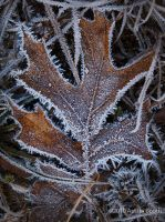 Frozen Oak Leaf by austinboothphoto