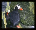 Tuffed Puffin v1 by swashbuckler