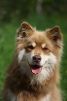 Finnish Lapphund by Jansu95