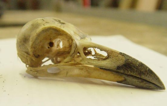 crow raven bird skull 1 by InKi-Stock