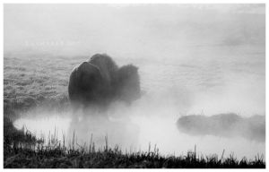 Bison in the Mist by Raymaker