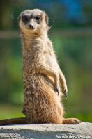Curious Meerkat by amrodel