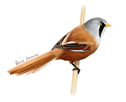 Bearded Reedling by Nachiii