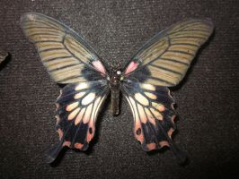Asian Swallowtail Pinned Spread Dorsal View by death-pengwin