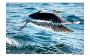 Norwegian gull 34 by grugster