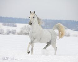 white arabian by mari-mi
