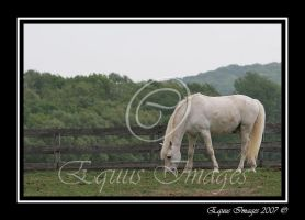 Grazing Grey Pony by equusimages