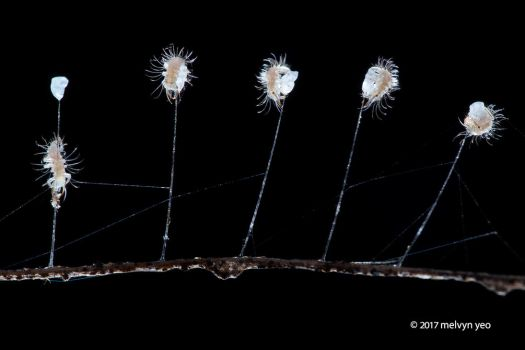 Lacewing larva hatching by melvynyeo