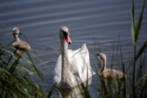 Swan family by MichaWha