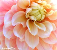 Peach dahlia by dhoris