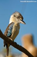 Blue-winged Kookaburra by amrodel