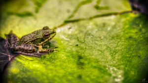 Frog HDR by KrisSimon