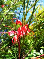 Grevillea by phlufii