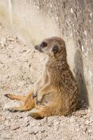 meerkat 3 by LonelyHashiriya