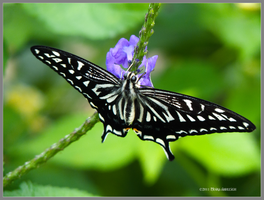 Swallowtail Butterfly by Mogrianne