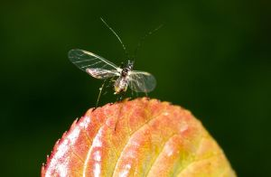 Aphid by Labyr1nth