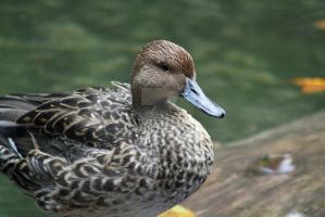 Duck by Cassidy-Slingby