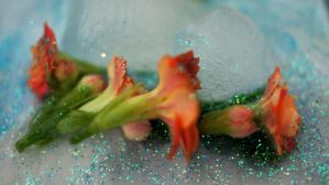 Flowers and ice 03 by ALP-Stock