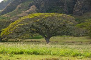 African tree on Oahu by Robby-Robert