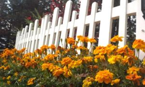 Marigolds and White Picket Fence 10.20.14 by jebchina