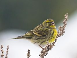 European Serin by imnotu