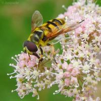 Bees cousin by Jorapache