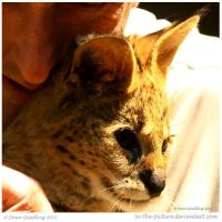 Serval by In-the-picture