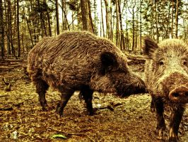 wild boar, animals, biosphere, forest, nature by basquiat79