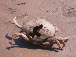 Large dead crab 2 by Aeltari