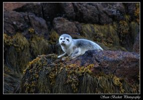 Baby Seal by seanbeckettvt