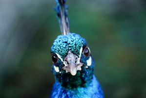 Peacock Blue by Shay-Wolf