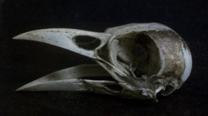Crow Skull I by Serpant02