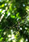 Golden Silk Orb Weaver 2 by Insane-Pencil