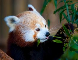 Red Panda Vll by deseonocturno