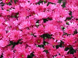 Pink Chrysanthemums by Kitteh-Pawz