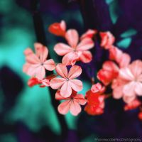 Red plumbago 3 by FrancescaDelfino