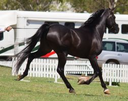 STOCK - TotR Arabians 2013-345 by fillyrox