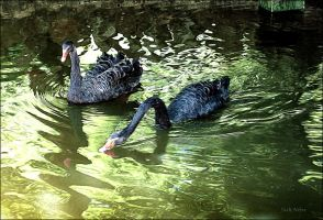 Black Swans by Jack-Nobre
