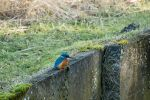 Alcedo Atthis by blizzard2006