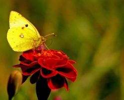 Yellow Butterfly 2 by ervin21