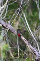 red browed finch 4 by StrayShadowXD