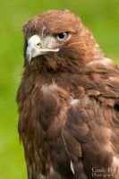 Melanistic Red Tail Hawk by lost-nomad07