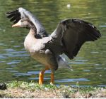Greater white-fronted goose by Brokenstone2