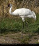 Whooping Crane 1 by SalsolaStock