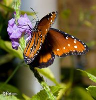 Queen Butterfly by floggerSG