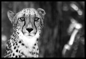 Cheetah in Black and White by torchdesigns